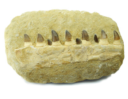 Fossil Mosasaur teeth & jaw, 100 Million Years Old-0