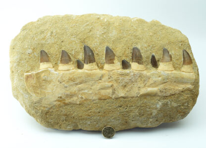 Fossil Mosasaur teeth & jaw, 100 Million Years Old-5161