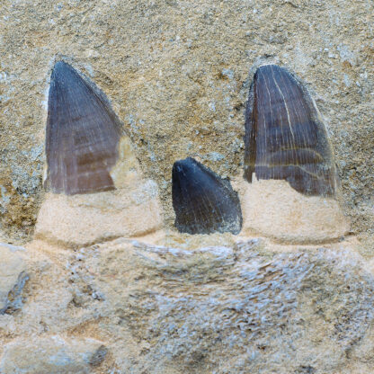Fossil Mosasaur teeth & jaw, 100 Million Years Old-5165