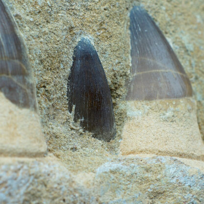 Fossil Mosasaur teeth & jaw, 100 Million Years Old-5160