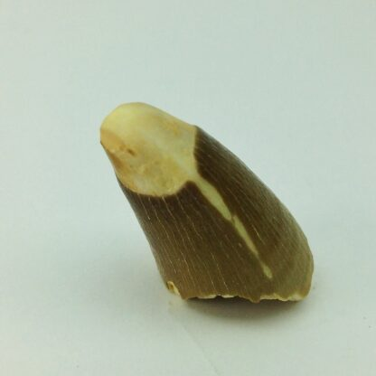Mesosaur Tooth, 100 Million Years Old-5167