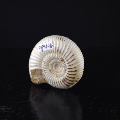 Fossil Ammonite from Madagascar, 180 Million Years Old-0