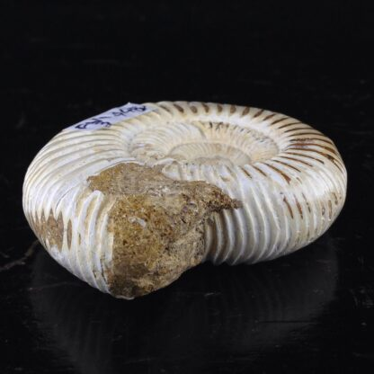 Fossil Ammonite from Madagascar, 180 Million Years Old-6118
