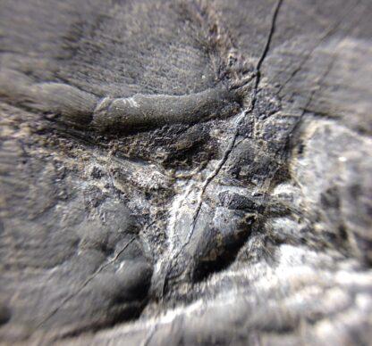 Keichousaurus hui, Fossil Dinosaur almost complete skeleton, Triassic, around 220 Million Years Old-5969