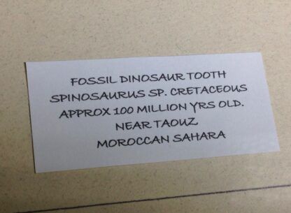 Framed Dino tooth, Spinosaurus, 100 million years, from Morocco-5977