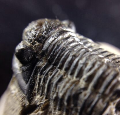 Fossil trilobite, Phacops africanus, from Morocco, -6393