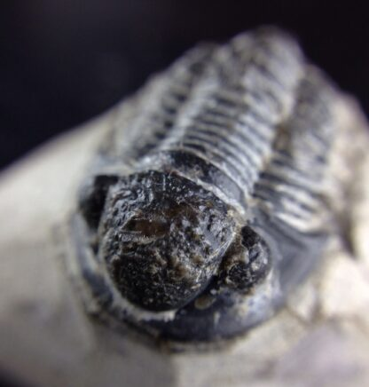 Fossil trilobite, Phacops africanus, from Morocco, -6394