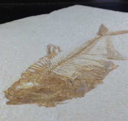 Fossil Fish, 50 Million Years, Diplomystus from Green River Formation, USA-6382