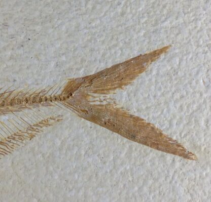 Fossil Fish, 50 Million Years, Diplomystus from Green River Formation, USA-6384