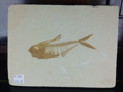 Fossil Fish, 50 Million Years, Diplomystus from Green River Formation, USA-6386