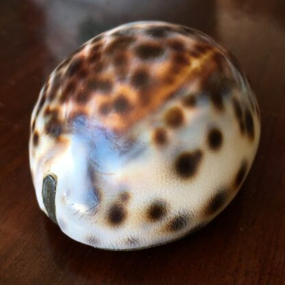 Tiger Cowrie Shell snuffbox with brass mounts & picture frame, 19th century-19190